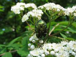 Chafer (Cetonia aurata) on on an ash tree