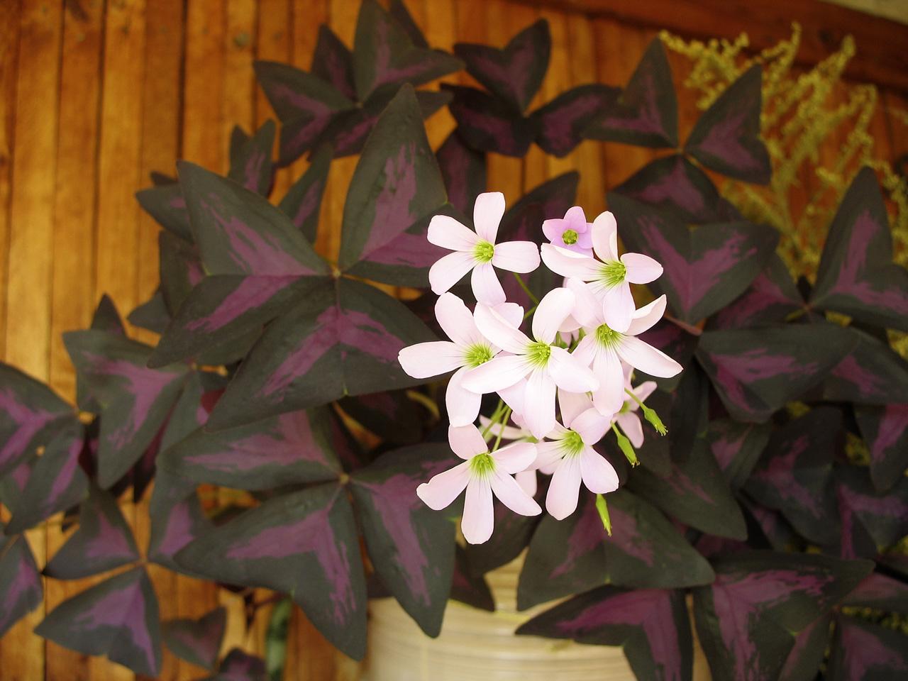 Цветок бабочка : уход, полив, фото, размножение и пересадка 96