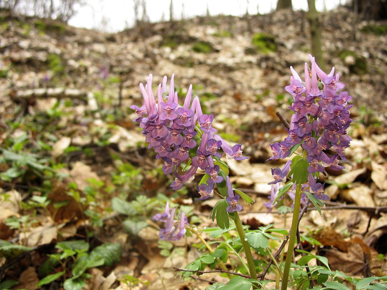 Хохлатка плотная цветок фото