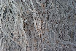 Branches in freezing rain