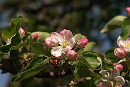 apple flower and bumblebee