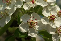 Flowers Pear (Pyrus)