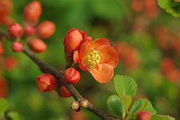Quince Flowers (Cydonia oblonga)
