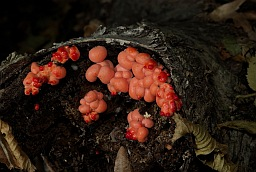 Groening's slime (Wolf's milk, Lycogala epidendrum)