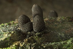 Dead man's fingers (Xylaria polymorpha)