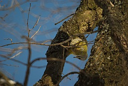 Grey-headed Woodpecker (Picus canus)