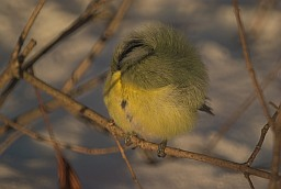 Sleeping fluffy blue tit