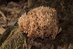 Crown-tipped coral fungus (Artomyces pyxidatus)