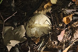 Common stinkhorn in egg stage (Phallus impudicus)