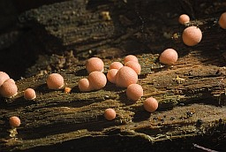 Wolf's milk (Lycogala epidendrum)